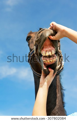 Checking horse teeth and health. Multicolored summertime vertical outdoors image on a blue sky background. - stock photo