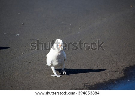 Cheeky Australian white corella  standing on the  pavement after   drinking in a water puddle  in the parking area on a sunny early autumn afternoon is delightful to watch.