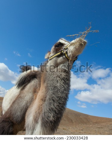 cheerful Bactrian camel on a background of blue sky - stock photo