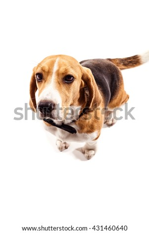Cheerful beagle dog in formal wear - stock photo