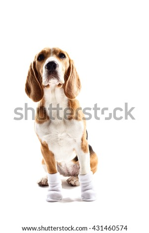 Cheerful beagle dog with warm clothing - stock photo