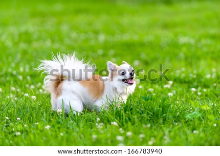 cheerful chihuahua dog walking on summer meadow  - stock photo
