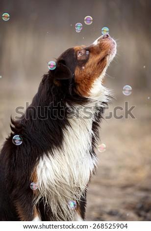 Cheerful dog catches soap bubbles on nature. Australian Shepherd - stock photo