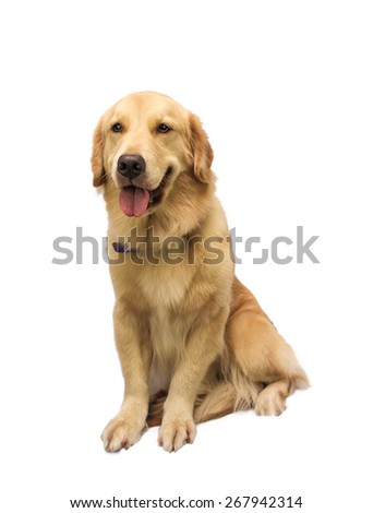 cheerful golden retriever isolated in white background with clipping path - stock photo