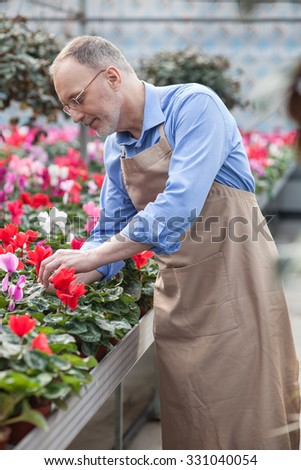 Cheerful old gardener is working at greenhouse. He is touching plant and smiling. The man is standing in apron - stock photo