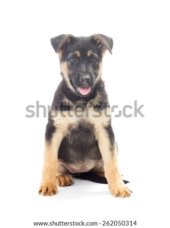 cheerful Shepherd puppy on a white background isolated - stock photo