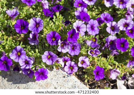 Cheerful  single purple and   mauve   flowers of  annual  petunias family Solanaceae blooming in a massed garden bed in late   summer are colorful and decorative for many months.