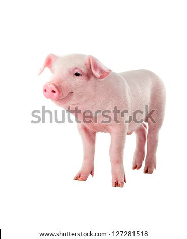 Cheerful smiling pig. Isolated on white background. - stock photo