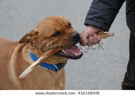 Cheerful young dog playing with stick held by man hand outdoors - stock photo