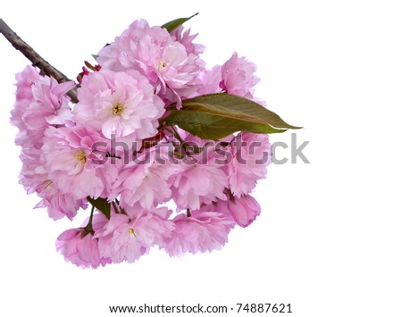 Cheery Blossom Isolated on White