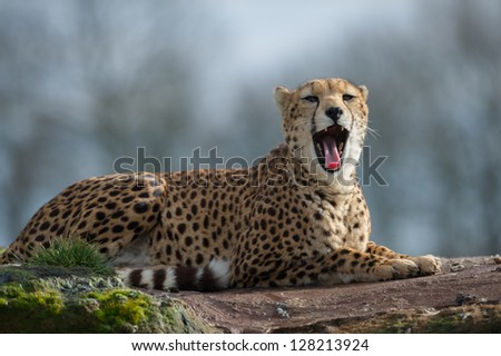 Cheetah (Acinonyx jubatus) - stock photo