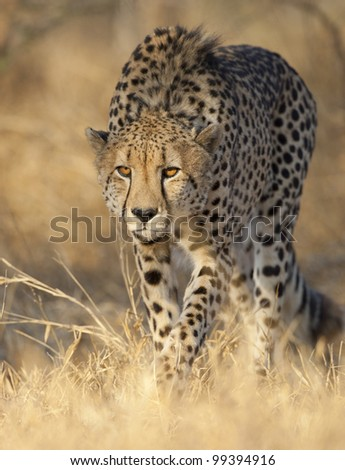 Cheetah (Acinonyx jubatus) alert and stalking, South Africa