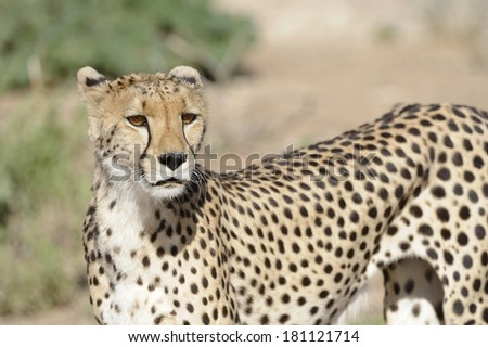 Cheetah (Acinonyx jubatus) at Saamvloieing waterhole in the Kgalagadi Transfrontier Park, Kalahari desert, Northern Cape, South Africa