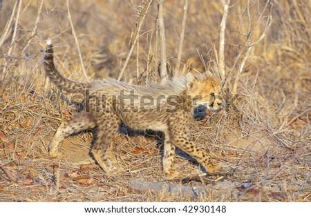 Cheetah (Acinonyx jubatus) cub walking in savannah in South Africa - stock photo