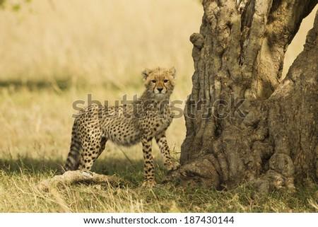Cheetah, Acinonyx jubatus, cubs playing in Lower Mara, Masai Mara Game Reserve, Kenya - stock photo