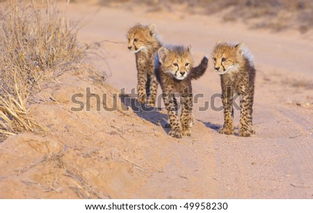 Cheetah (Acinonyx jubatus) cubs walking on the dirt road in savannah in South Africa - stock photo