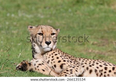 Cheetah (Acinonyx jubatus) in South Africa - stock photo