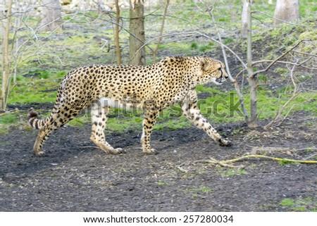 Cheetah (Acinonyx jubatus) is walking in a forest enclosure - stock photo