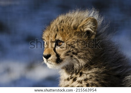 Cheetah (Acinonyx jubatus jubatus) cub against snowy background - stock photo