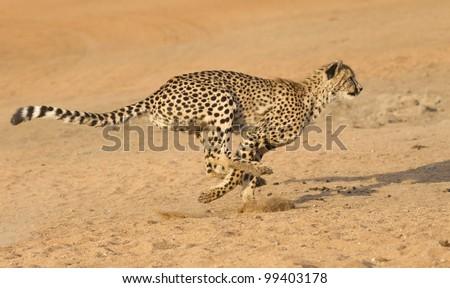 Cheetah (Acinonyx jubatus) running, South Africa - stock photo