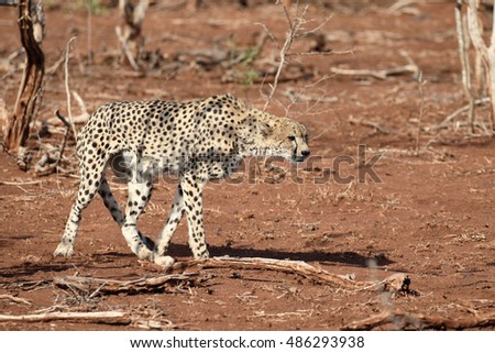 Cheetah, Acinonyx jubatus, single cat, South Africa, August 2016