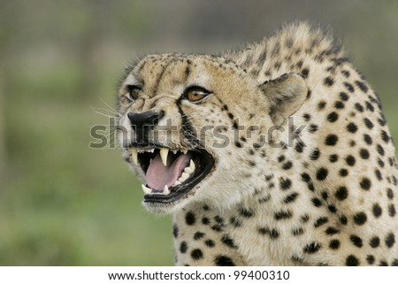 Cheetah (Acinonyx jubatus) snarling, South Africa