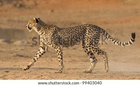 Cheetah (Acinonyx jubatus), South Africa - stock photo
