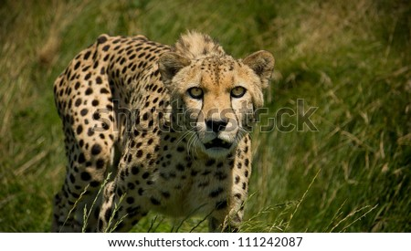 Cheetah Acinonyx Jubatus stalking prey looking at camera