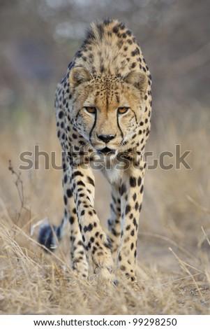 Cheetah (Acinonyx jubatus) stalking, South Africa - stock photo