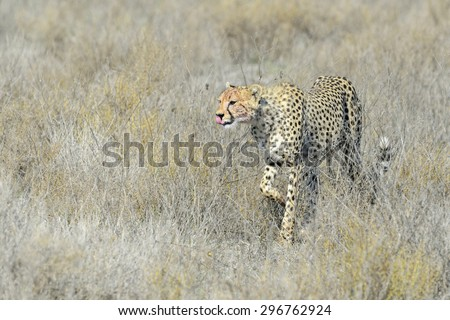 Cheetah (Acinonyx jubatus) walking on savanna, Serengeti national park, Tanzania. - stock photo