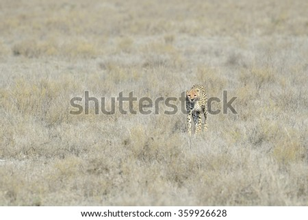 Cheetah (Acinonyx jubatus) walking on savanna, towards the camera, Serengeti national park, Tanzania. - stock photo