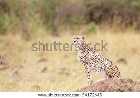 Cheetah (Acinonyx jubatus) watching out for prey in savannah in South Africa - stock photo