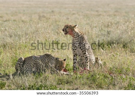 Cheetah (Acinonyx jubatus) with a kill in Serengeti National Park, Tanzania