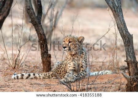 Cheetah at sunrise in Okonjima Nature Reserve, Namibia. Shallow depth of field. - stock photo