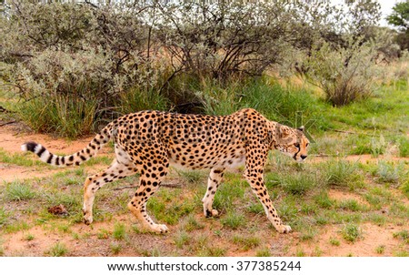 Cheetah at the Naankuse Wildlife Sanctuary, Namibia, Africa - stock photo