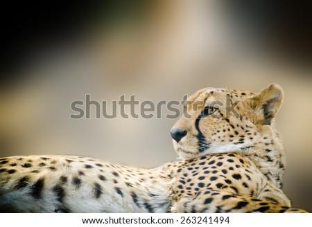 Cheetah close up laying outdoors - stock photo