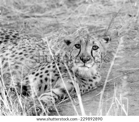 Cheetah close up, Namibia - stock photo