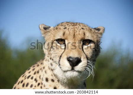 Cheetah - close up of head looking at camera - South Africa - stock photo