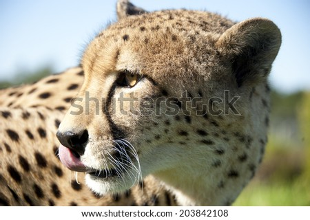 Cheetah - close up of head - South Africa - stock photo