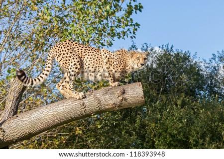Cheetah Crouching on a Tree Branch Acinonyx Jubatus - stock photo