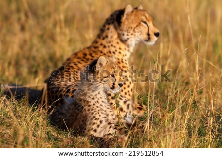 Cheetah cub and mother in the background watching some gazelles early in the morning in Masai Mara, Kenya - stock photo