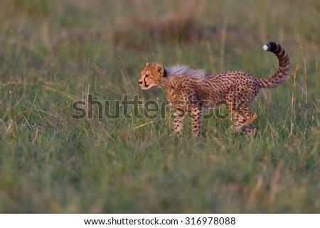 Cheetah cub in the grass in Masai Mara, Kenya - stock photo