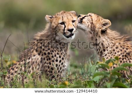 Cheetah cub licking his sister after eating - stock photo