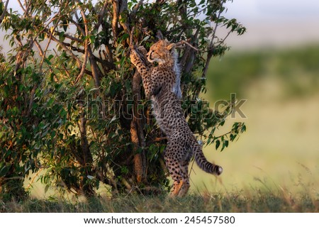 Cheetah cub likes to climb in the bushes in Masai Mara, Kenya - stock photo