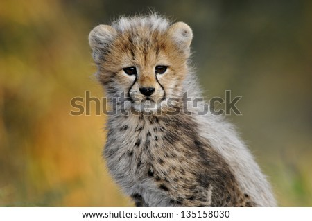 Cheetah cub looking at the camera - stock photo