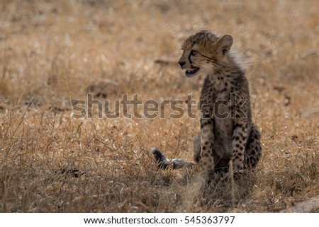 Cheetah cub sitting in Grassland taken in Kenya