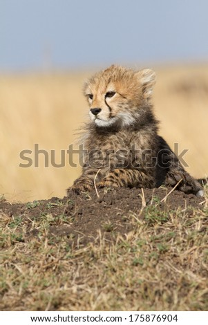 Cheetah cub sitting on a mound (Acinonyx Jubatus), Masai Mara, Kenya - stock photo