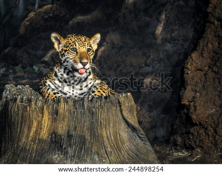 Cheetah cub sticking out of a tree trunk with his tongue out - stock photo