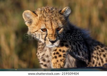 Cheetah cub wants to climb into the safari car in Masai Mara, Kenya - stock photo