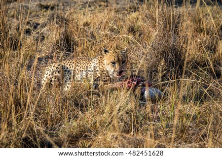 Cheetah eating from a Reedbuck carcass in the grass in the Sabi Sabi game reserve, South Africa.